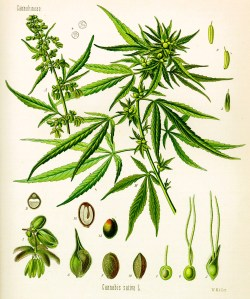 Cannabis Sativa L.